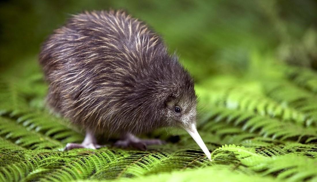 Kiwi-bird-Photos-HD-Wallpapers